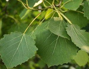 осиновые листья средство от геморроя