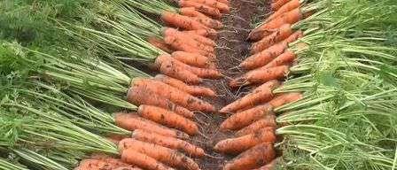 Фото морковка после уборки урожая